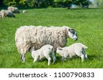 new born lambs sackling their... | Shutterstock . vector #1100790833