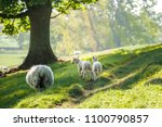 little cute new born lambs with ... | Shutterstock . vector #1100790857
