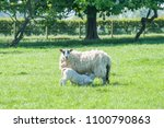 new born lambs sackling their... | Shutterstock . vector #1100790863