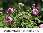 beautiful rose for screen saver ... | Shutterstock . vector #1100819777