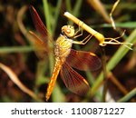 Four Winged Dragonfly