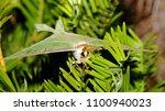 luna moth   close up photograph ... | Shutterstock . vector #1100940023