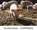 Pigs in sty - stock photo