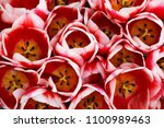 luxurious bouquet of red tulips.... | Shutterstock . vector #1100989463