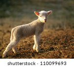 lamb  close up | Shutterstock . vector #110099693
