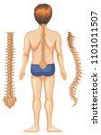 human anatomy of spine on white ...   Shutterstock .eps vector #1101011507