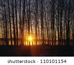 Silhouette of bare trees at sunrise - stock photo