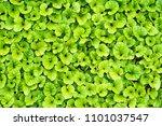 blurry fresh green leaf...   Shutterstock . vector #1101037547