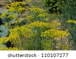 Fresh dill in garden - stock photo