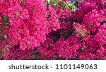 bougainvillea  red flowers ... | Shutterstock . vector #1101149063