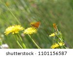 Small photo of Orange skipper butterfly possibly small, Essex or lulworth skipper Latin name thymelicus sylvestris, lineola or acteon from the hesperiidae family feeding on a yellow weed in Italy