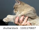 close up of british cat without ... | Shutterstock . vector #1101170837