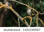 little nestling nightingale | Shutterstock . vector #1101230567
