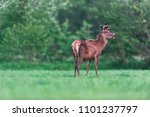 young red deer buck in... | Shutterstock . vector #1101237797