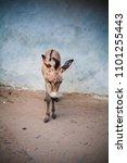 Small photo of african wild ass donkey in Lamu Kenya
