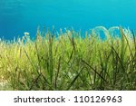 Underwater Green Sea Grass In...