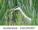 grey heron  heron  ardea cinerea | Shutterstock . vector #1101292307
