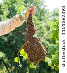 Small photo of Swarm of bees with beekeeper's hand - honeybees in large number on tree branch