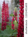 stunning red lupin flowers with ... | Shutterstock . vector #1101401603