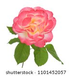 a beautiful single rose... | Shutterstock . vector #1101452057