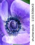 purple poppy flower  macro shot ... | Shutterstock . vector #1101508643