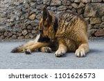 german shepherd dog scratching... | Shutterstock . vector #1101626573