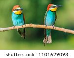 pair of bee eaters sitting on a ... | Shutterstock . vector #1101629093