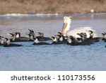 Dalmatian Pelican in breeding plumage - stock photo