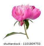 pink peony isolated on white | Shutterstock . vector #1101809753