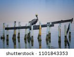Brown Pelican Resting Near The...