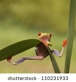 Stock photo red eyed tree frog agalychnis callidryas looking very surprised into the camera and holding 110231933