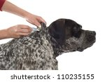 tick and flea prevention for a purebred german pointer dog - stock photo