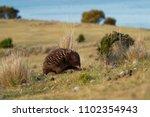 tachyglossus aculeatus   short... | Shutterstock . vector #1102354943