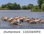 white pelicans  pelecanus... | Shutterstock . vector #1102364093