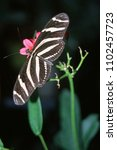 Small photo of Striped simple butterfly