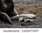cross between an wolf canis... | Shutterstock . vector #1102477697