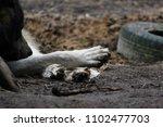 cross between an wolf canis... | Shutterstock . vector #1102477703