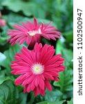 gerbera daisy flower in the... | Shutterstock . vector #1102500947