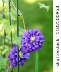 a purple clematis flower in the ... | Shutterstock . vector #1102500953