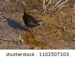 Small photo of Picture of a Water rail (Rallus acuaticus taken in Tablas de Daimiel national park