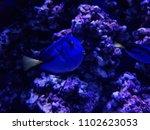blue surgeonfish in saltwater... | Shutterstock . vector #1102623053