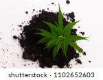 cannabis plant in soil on white ... | Shutterstock . vector #1102652603