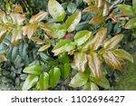 green shiny leaves of mahogany...   Shutterstock . vector #1102696427