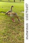 wild egyptian geese | Shutterstock . vector #1102751657