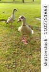 wild egyptian geese | Shutterstock . vector #1102751663