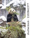 Small photo of Giant panda eating their bamboos in the winter seasoning and snowy