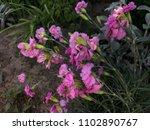 close up beautiful pink... | Shutterstock . vector #1102890767