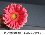 single gerbera in the sunlight | Shutterstock . vector #1102964963