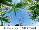 field of lupines. a view from... | Shutterstock . vector #1102970693