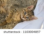 Stock photo cute kitten playing on white blanket kitten laying on white blanket kitten with blue eyes 1103004857